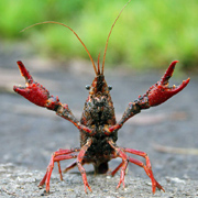 A crawdad is a crawfish is a crayfish and, yes, they can sing!